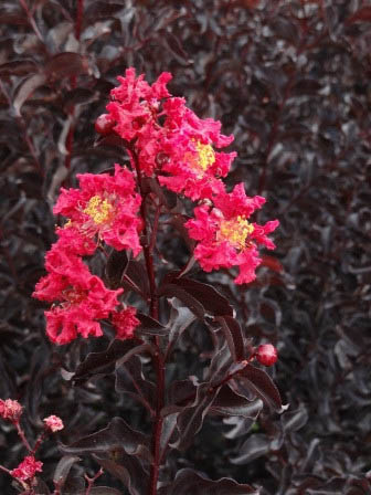 black diamond crimson crape